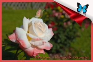 602 Parque cervantes rosa blanca