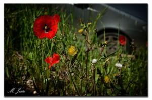 17 Mura flor amapola