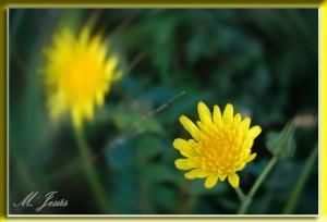 10 Montcau flor amarilla