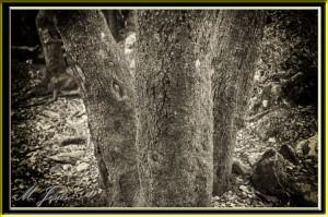 20 Montcau tronco árboles